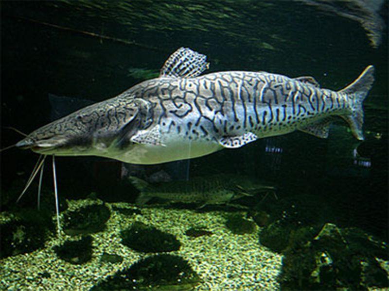 Memelihara Tiger Shovelnose Catfish Ikan Tropis Ikan Air Tawar Ikan Akuarium