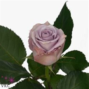 Blue Gene Roses are lilac & usually available all year round. 70cm stem lengths this wholesale cut flower is wholesaled in 20 stem wraps.