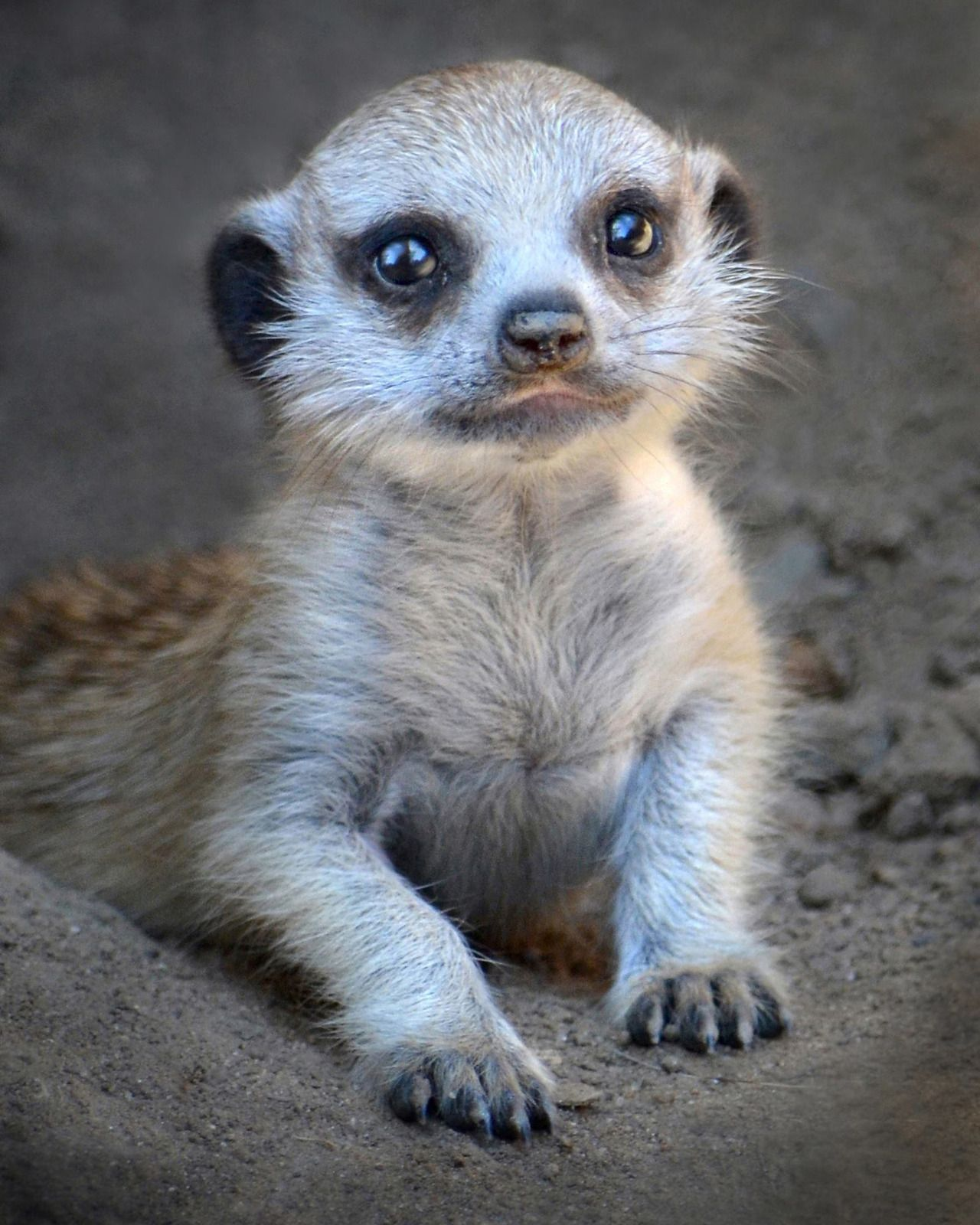 Mondays always need more meerkat. Fun fact Meerkats are