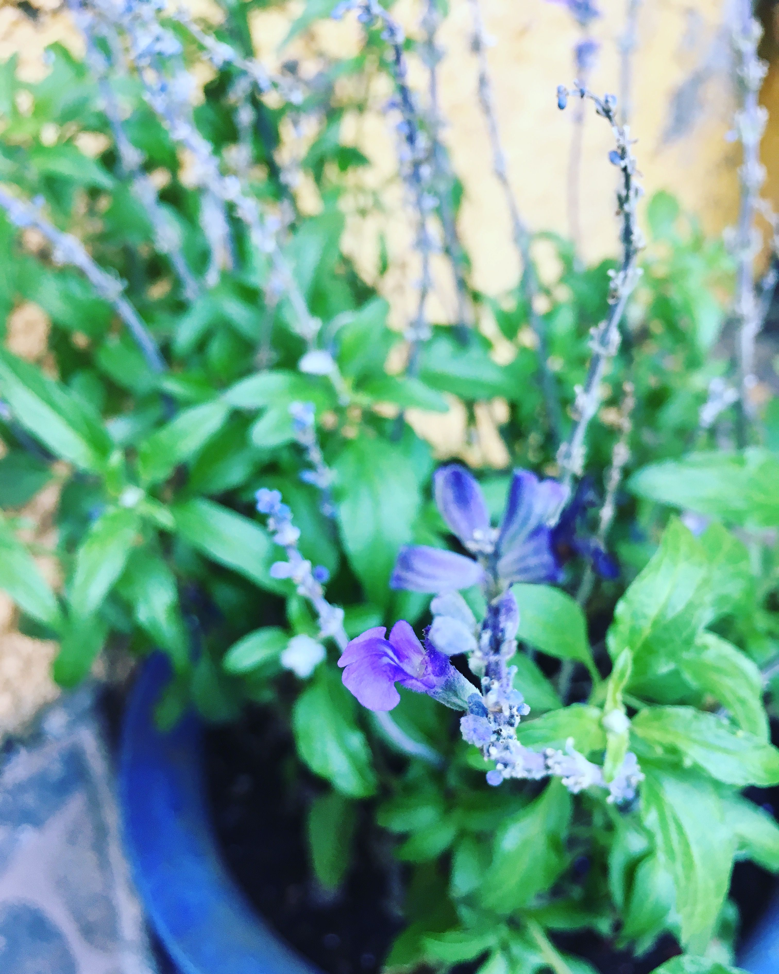 #Salvia #Flores #Aromatherapy #Gardening