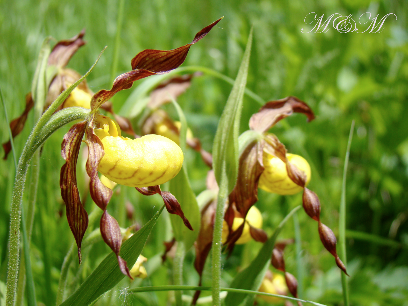 Lady Slippers Bear In Sight Yellow Lady Slipper Pinterest