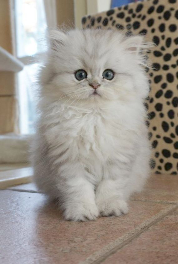Pin Kittens For Sale Cute Baby Animals Kittens Cutest Beautiful Cats