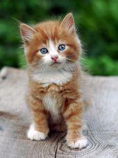 Allo Baby Kätzchen gibt es zu viele Katzen, die Sie die Quebecquers mit dem Sturz sind ... - #katzchen #katzen #quebecquers #sturz #viele - #Juliet'sKatzenundKätzchen #gingerkitten