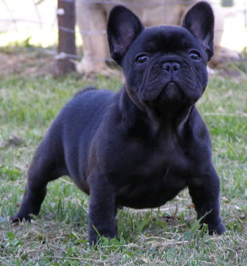 Frenchie French Bulldog French Bulldog Check Out More Cute