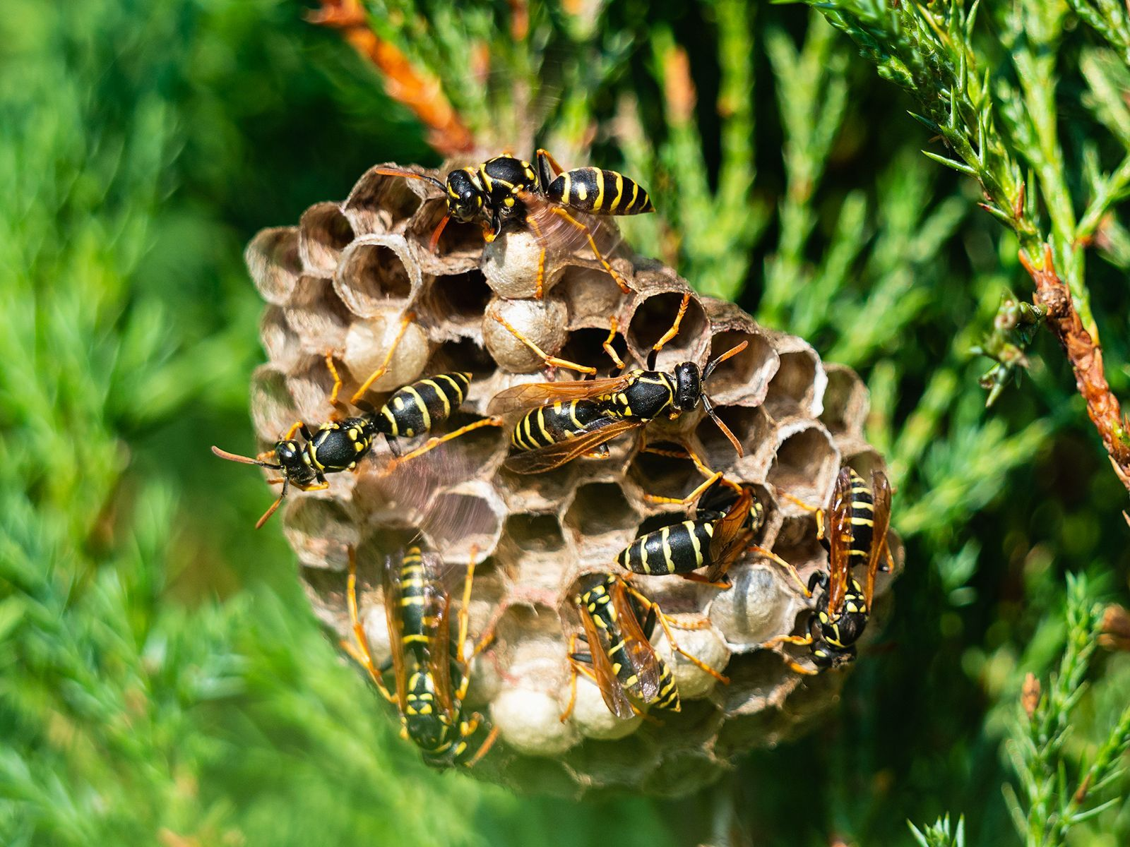 How To Get Rid Of Wasps And Yellow Jackets In 2020 Get Rid Of Wasps Plants To Attract Bees Getting Rid Of Bees