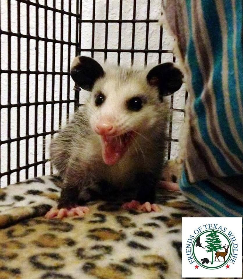 a feisty juvenile opossum he looks ready for anything that might