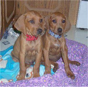 Redbone Coonhound Dog Photo Redbone Coonhound Pictures Redbone Coonhound Coonhound Dog Breeds Pictures