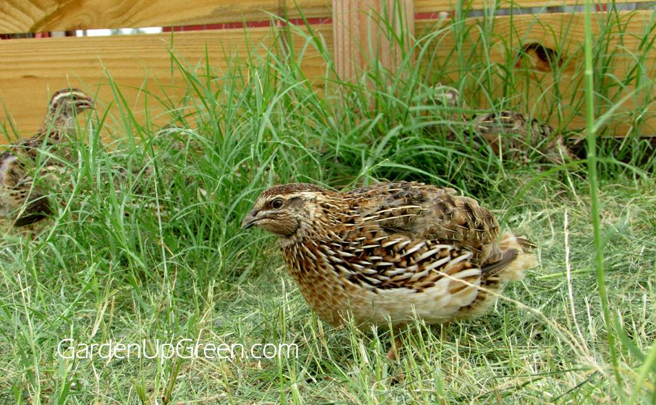 Improve Quail Health | Raising backyard chickens, Raising ...
