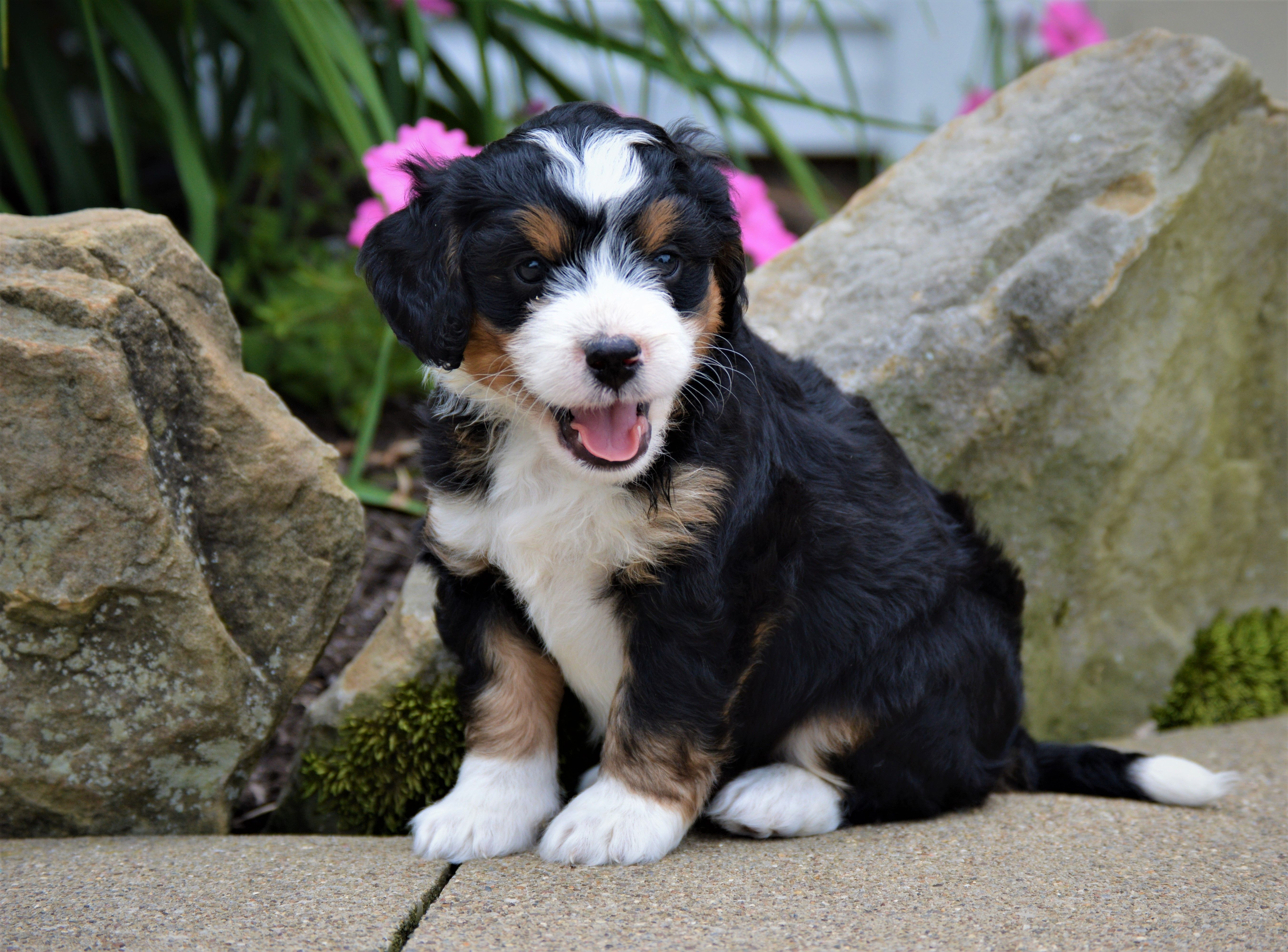 Puppies For Sale Bernedoodle Puppy Lancaster Puppies Dog Breeder