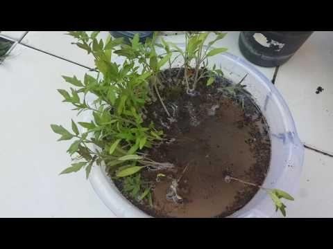 Tohumlar filizlendikten sonra, nasıl ayrılır? Fideler ekim için nasıl ayrılır?  Seperate seedlings.