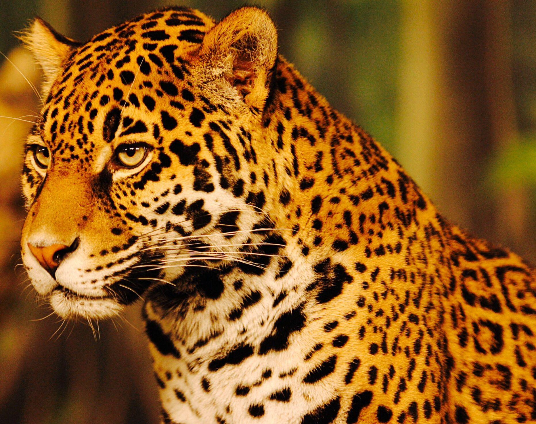 Jaguar Jaguar animal, Wild cats, Jaguar habitat