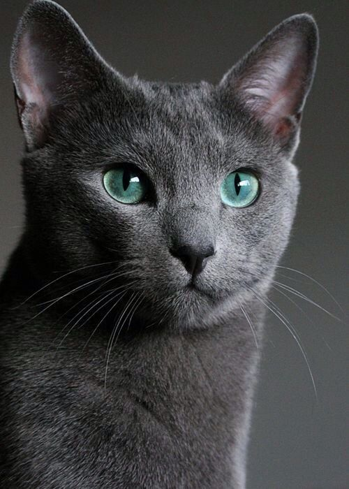 Pin By Janice Wood On Cats Russian Blue Blue Cats Pretty Cats