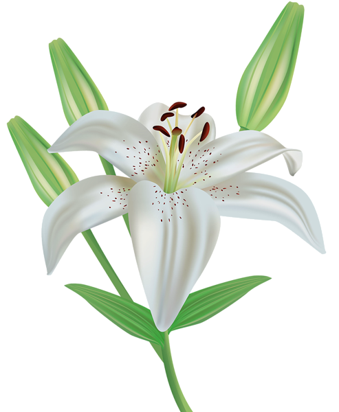 Lily Flower Clipart Png Image Flower Clipart Images Flower Clipart Png Flower Clipart
