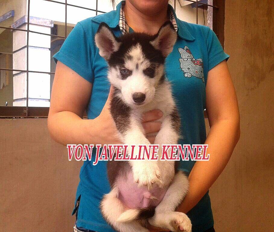 Von Javelline Kennel Jual Anak Anjing Siberian Husky Stamboem On