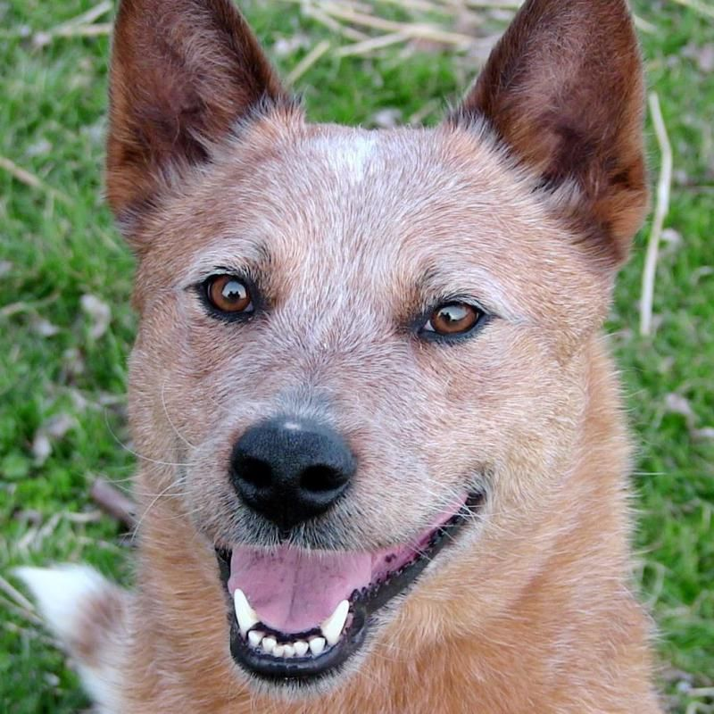 Adopt Spookz on Australian cattle dog, Rescue dogs, Dogs