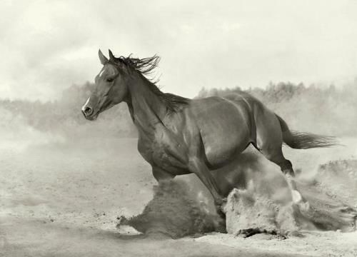 Arabic Horse Horses Horse Quotes Horse Photography