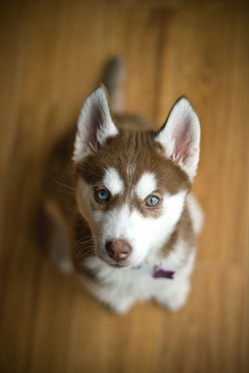 Kaylee By Horselvr57 Siberian Husky Husky Puppy