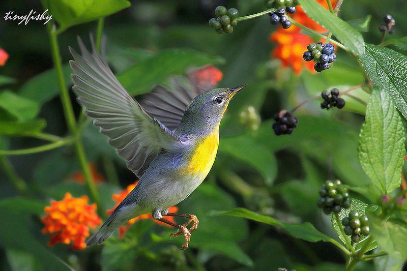 Improved: Northern Parula Warbler