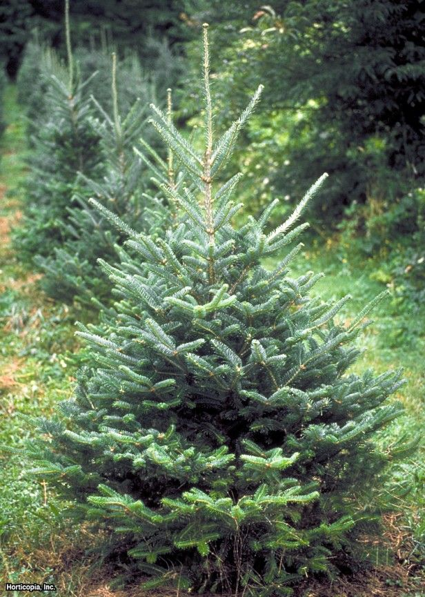 fraser fir the fraser firs are the cadillacs of christmas trees says bluebird christmas tree farm owner leo collins fraser firs have sturdy branches - Bluebird Christmas Tree Farm