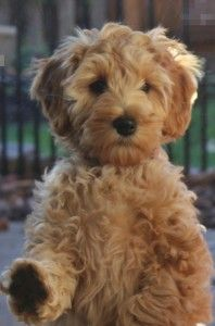We Have One Puppy Available Puppies Labradoodle Puppy