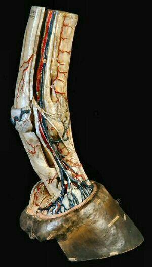 Pata de equino donde se ven arterias, venas, nervios | Un poco d ...