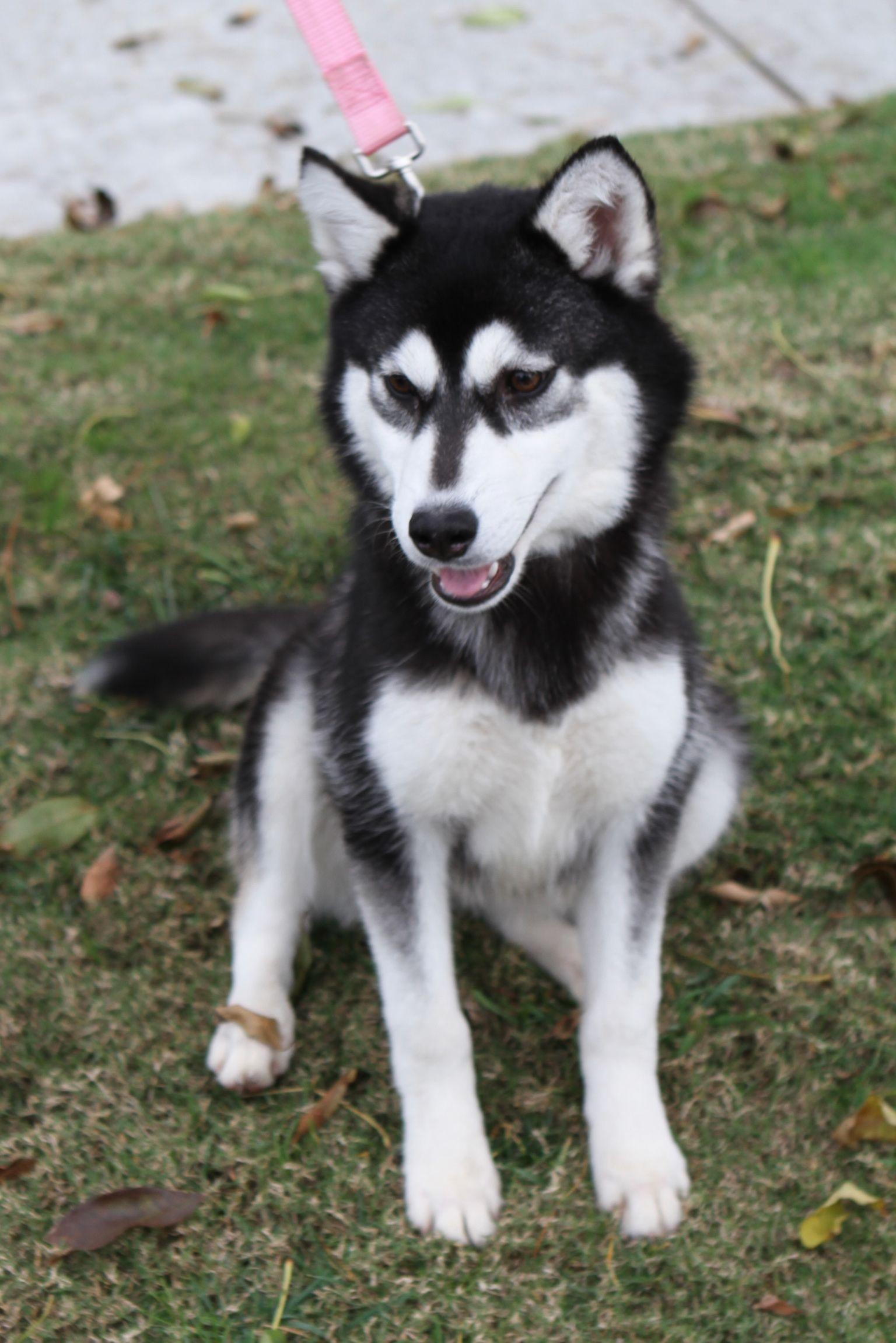 Siberian Husky Dog For Adoption In Newport Beach Ca Adn 764519
