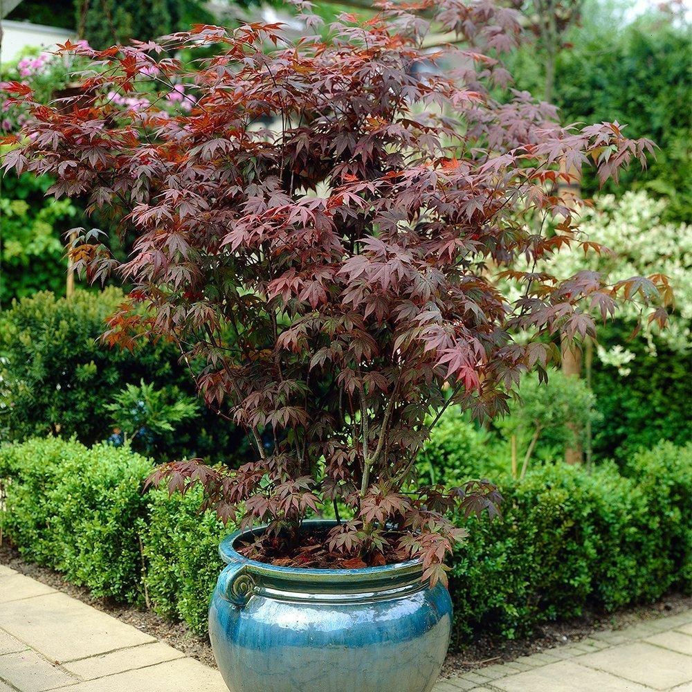 Nice garden trees  Bloodgood Japanese Maple  copper board  Pinterest  Bloodgood