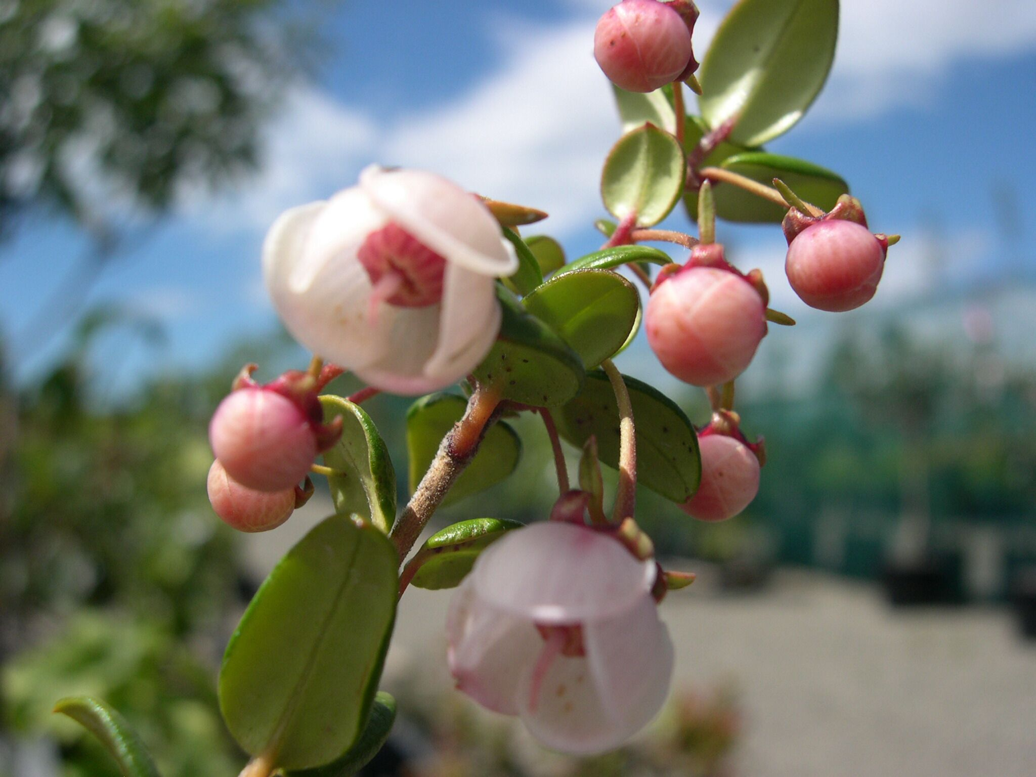 Chilean Guava Bushy Plant With Delicate Pink Bell Shaped Flowers