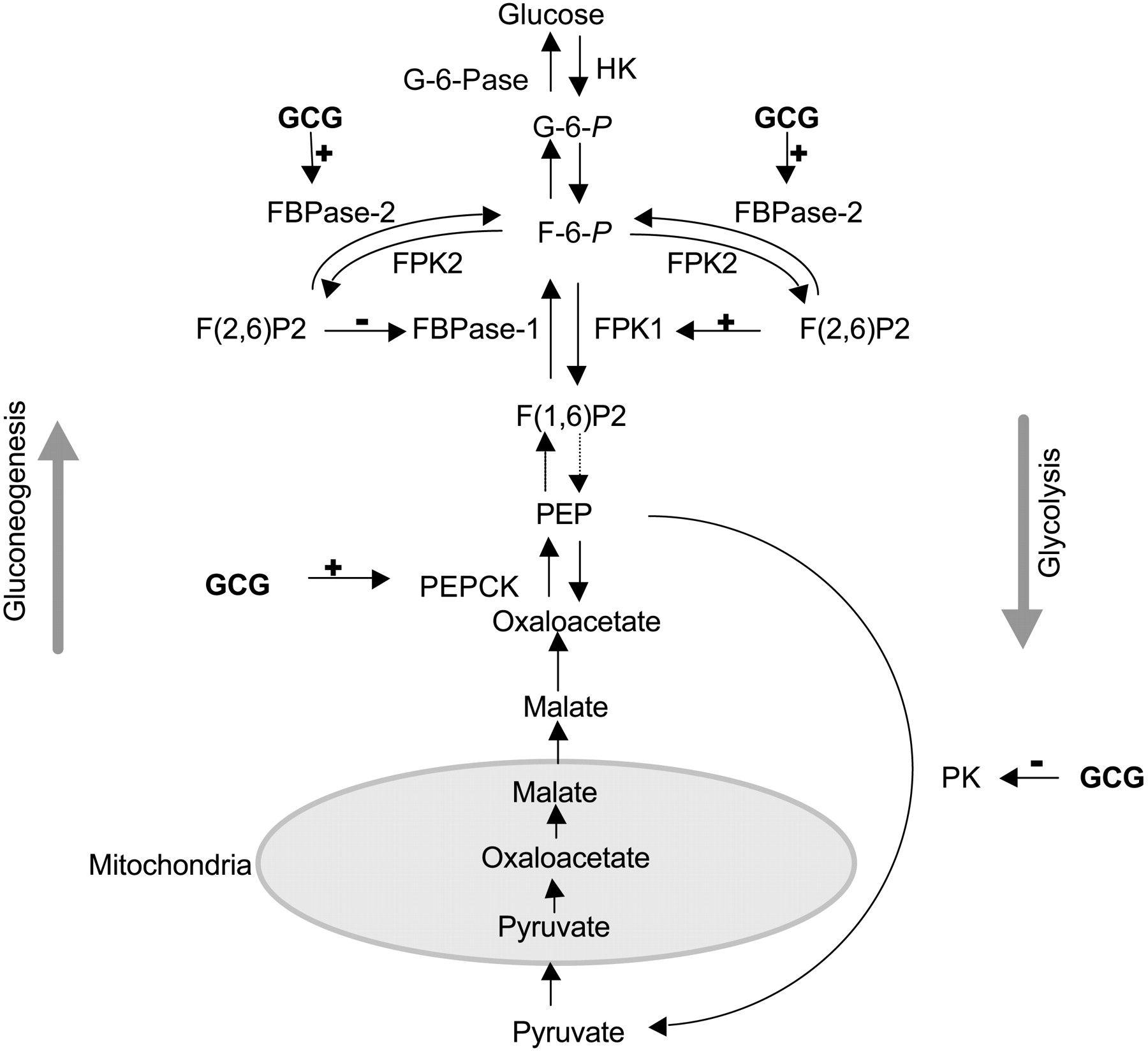 Glucose Metabolism Diagram Glucagon And Regulation Of Glucose Metabolism Endocrinology Metabolismo