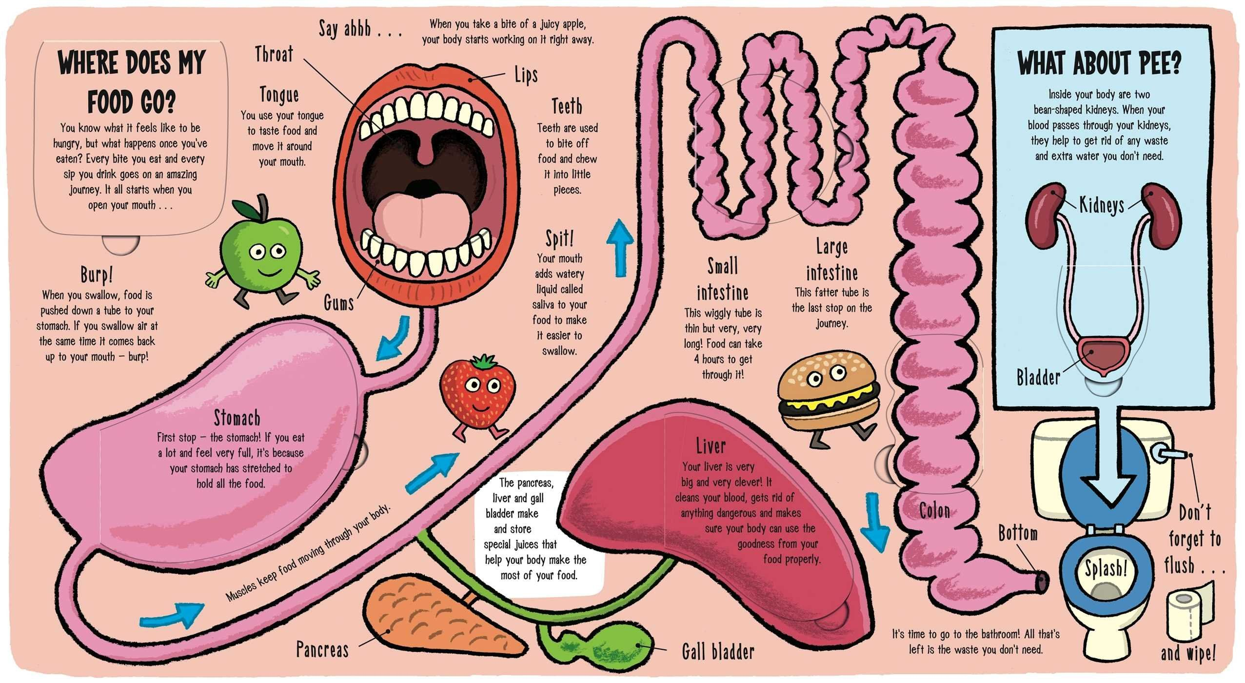 Funky Pictures Of The Digestive System For Kids Embellishment ...