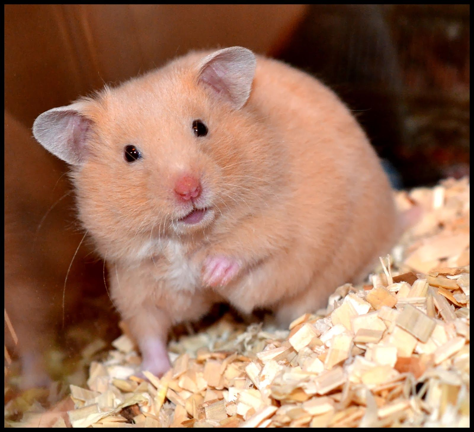 white dwarf hamsters with red eyes - photo #21