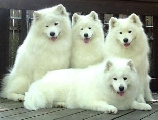 Samoyeds, Kheta and Czar!