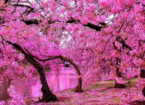 Iran Style On Twitter Cherry Blossom Wallpaper St James Park London Cherry Blossom