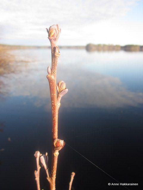 Summer is coming. Springtime in Kivijärvi. #kivijaervi #centralfinland #spring #lake