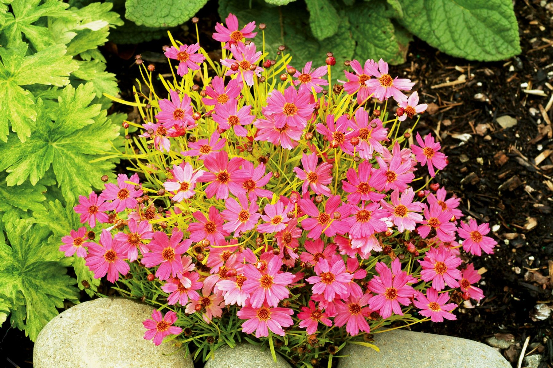 Pink lemonade tickseed monrovia pink lemonade tickseed my coreopsis pink lemonade a great mixer in containers bright warm golden foliage gives a long season of interest until the clear pink flowers arrive mightylinksfo