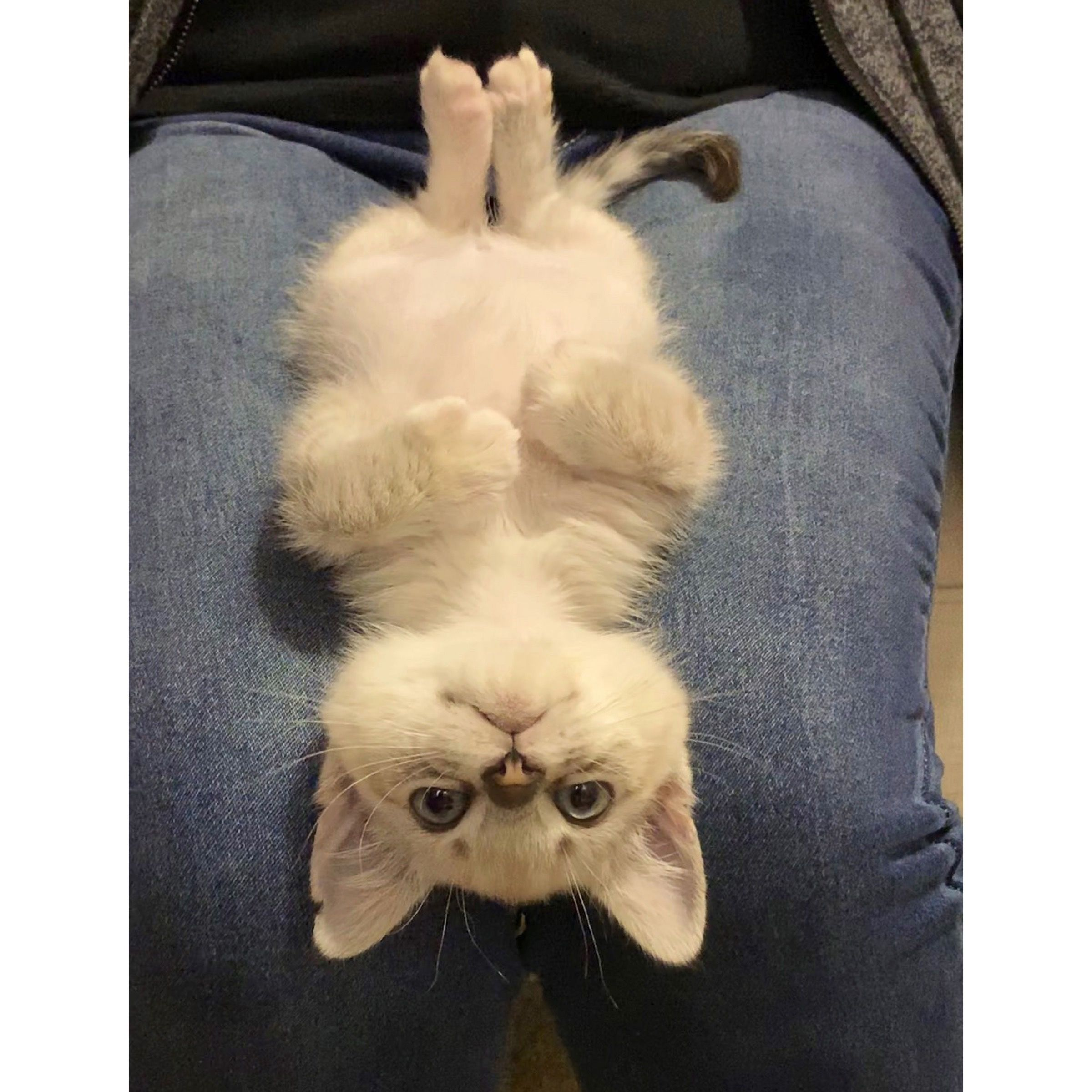 White Seal Cream Lilac Tabby Point Siamese Kitten Cat Laying