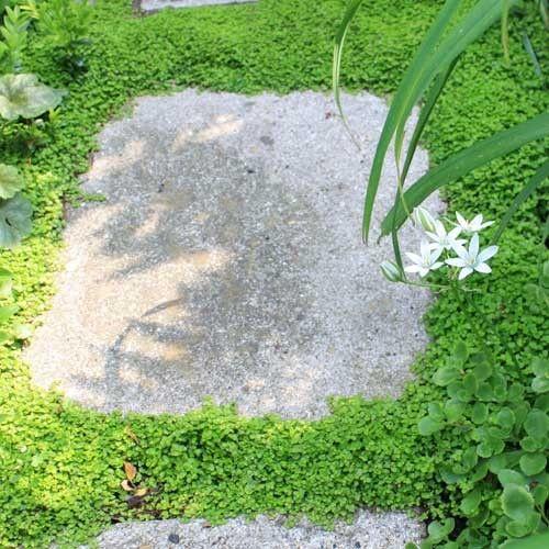 Mousse helxine soleirolia soleirolii couvre sol jardin for Jardin japonais plantes couvre sol