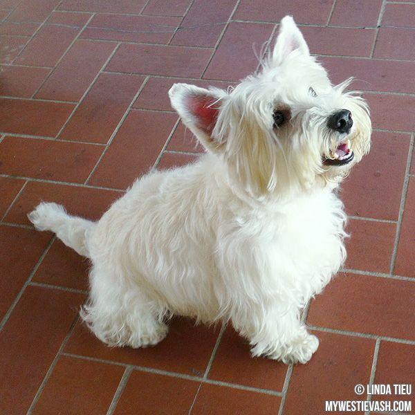 west highland terrier art Google Search West highland