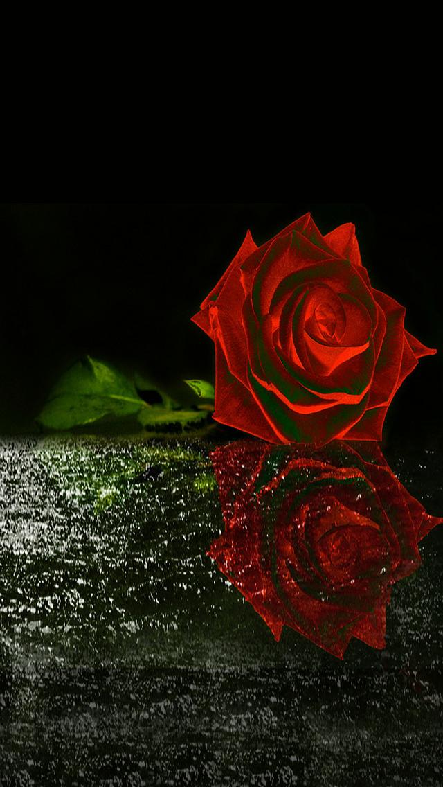 35 Cute Red Rose Images Favorite Picture Red Roses Wallpaper Dark Red Roses Rose Wallpaper