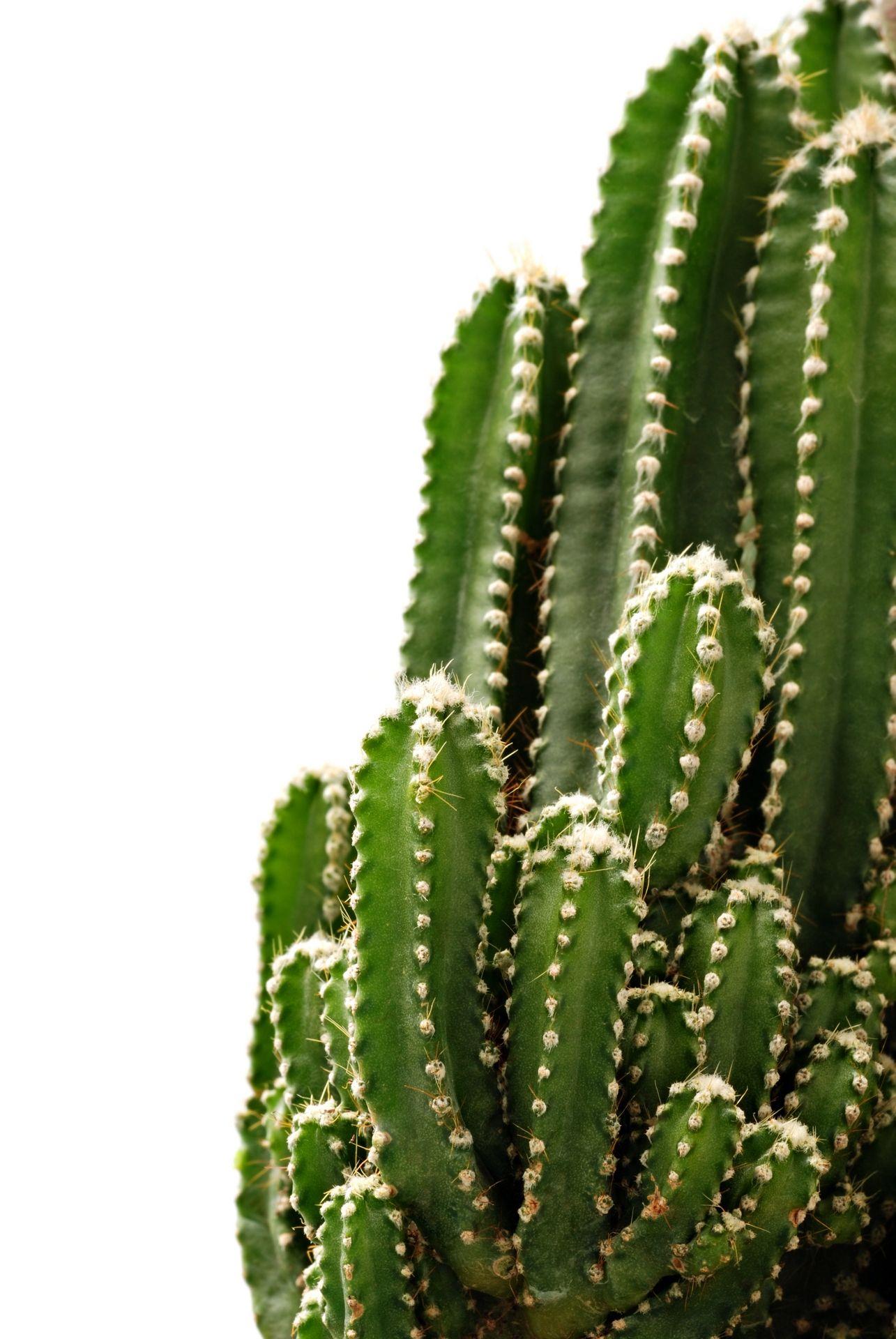 Green catus   Green Cactus