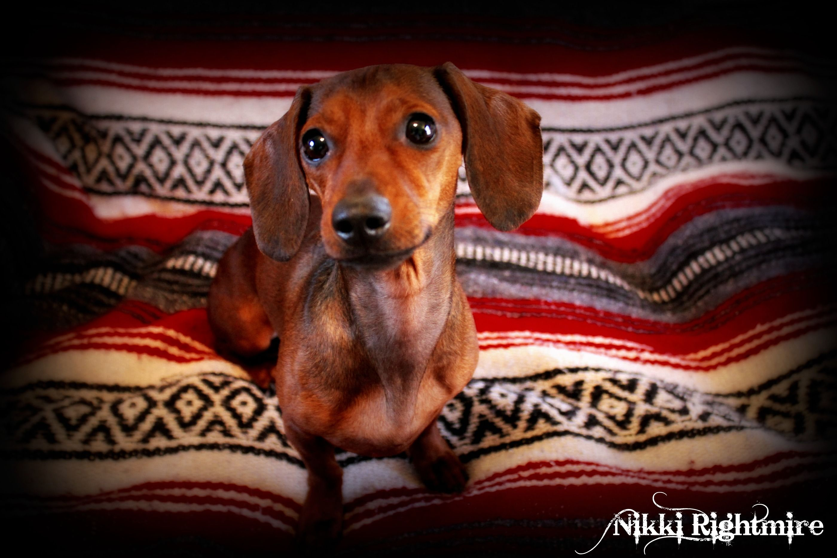 Nikki Rightmire Photography Doxie Delight Dachshund Love