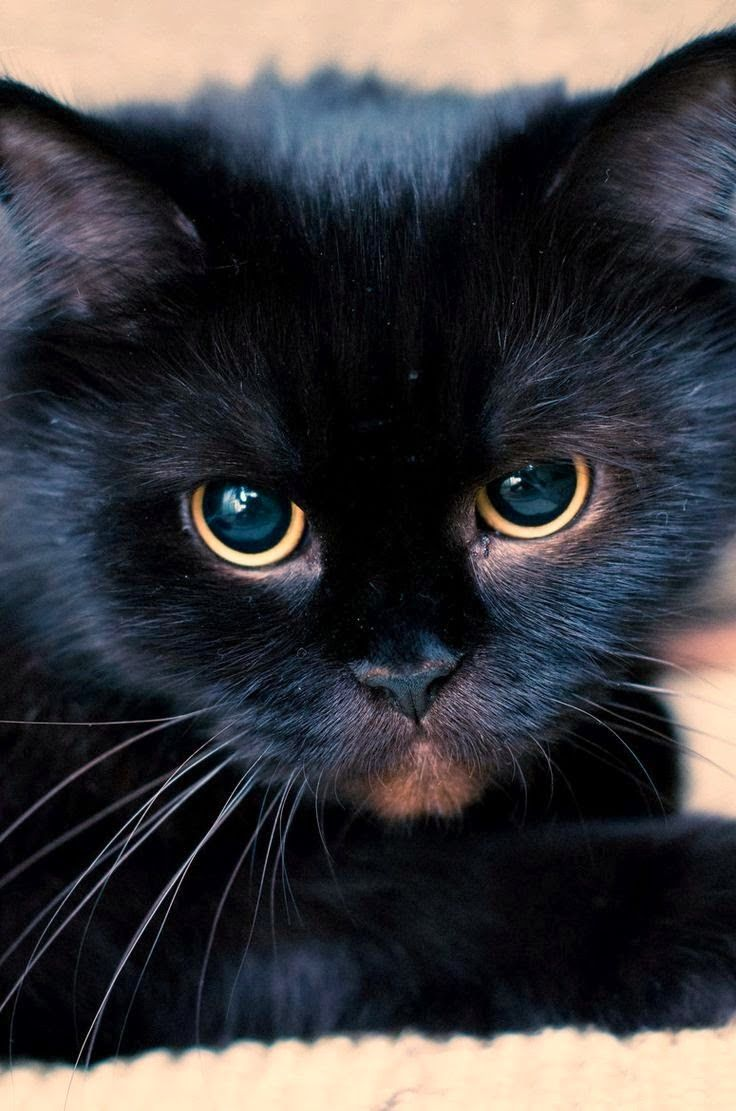 Black Cat Cats Beautiful Cats Cute Cats
