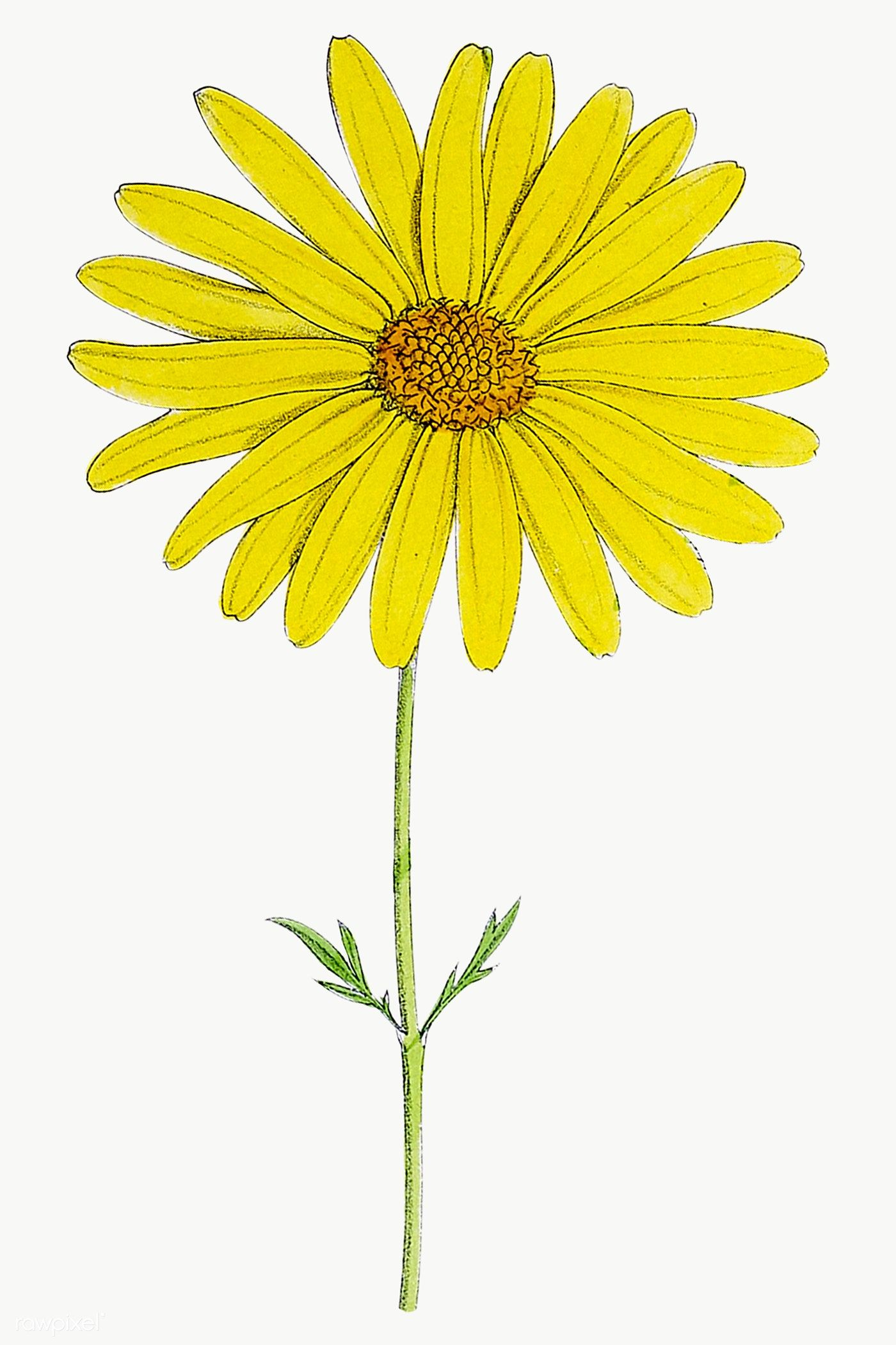 Download Premium Png Of Hand Drawn Yellow Flower Transparent Png 2094599 In 2020 Yellow Flowers Yellow Daisy Flower Flower Illustration