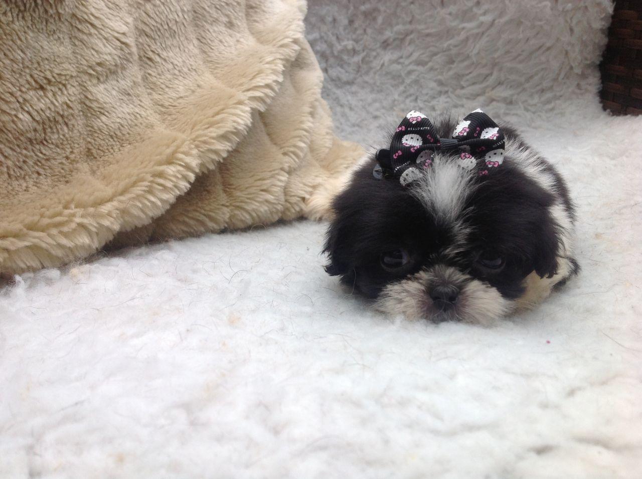 Shih Tzu Puppy Tea Cup Size Shih Tzu Puppy Shih Tzu Puppies