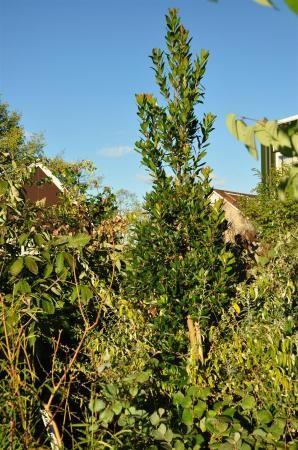 Amelanchier arborea subsp. laevis | Plant leaves, Tree, Plants