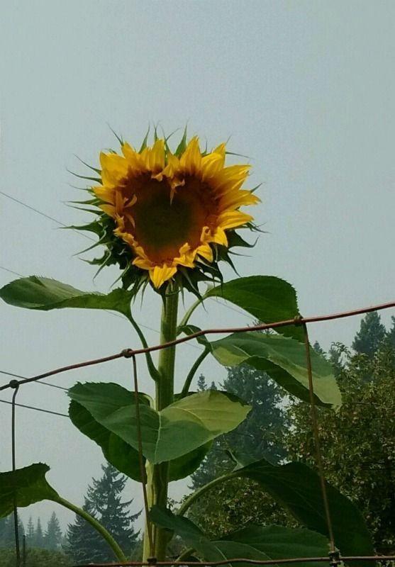 Pin By Tammy Wagner Garza On Herzen Sunflower Hearts Sunflower Sunflowers And Daisies
