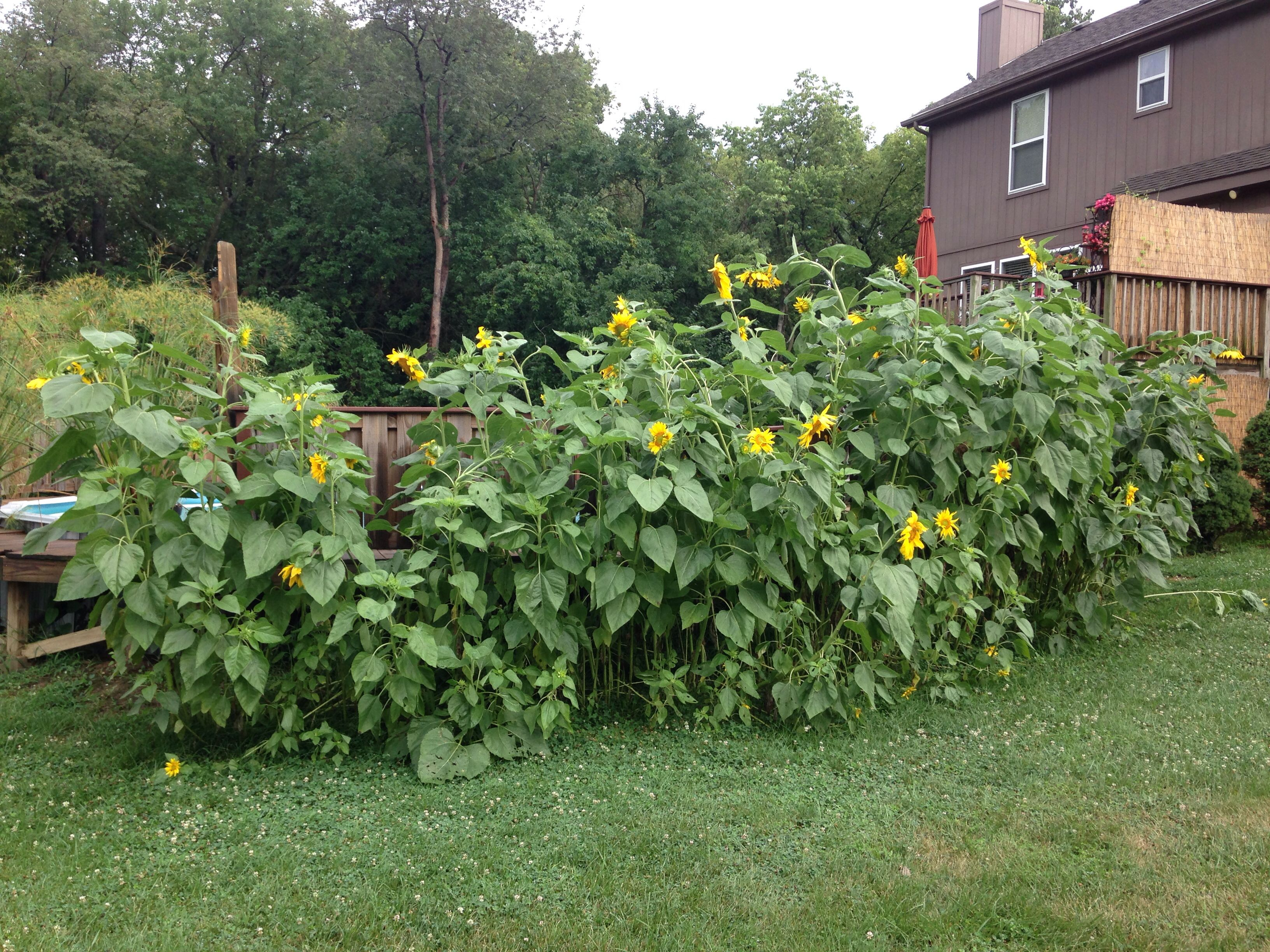Mammoth Sunflowers Around My Pool