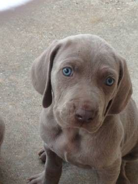 Akc Dogs Akc Registered Weimaraner Puppies For Sale In Spring