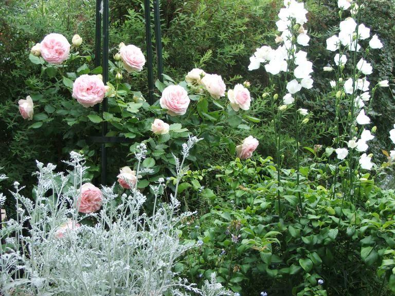 Association rosier et plantes vivaces beaut pinterest plante vivace rosier et vivace - Quelle variete de lavande choisir ...