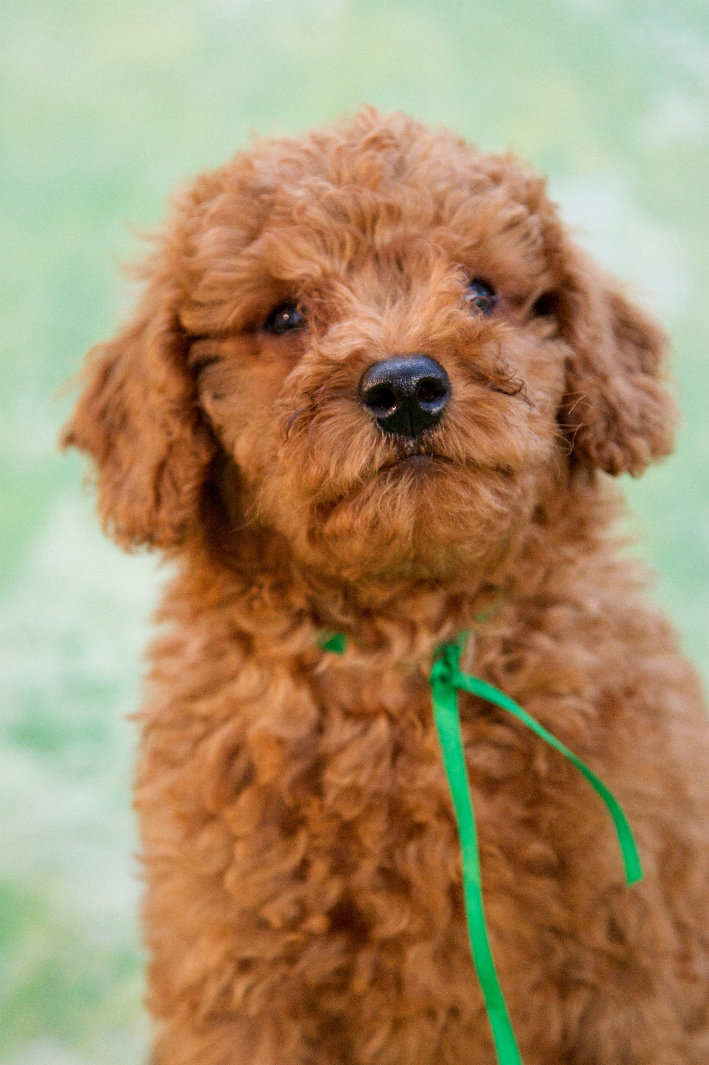 Oh so handsome red mini Australian Labradoodle boy
